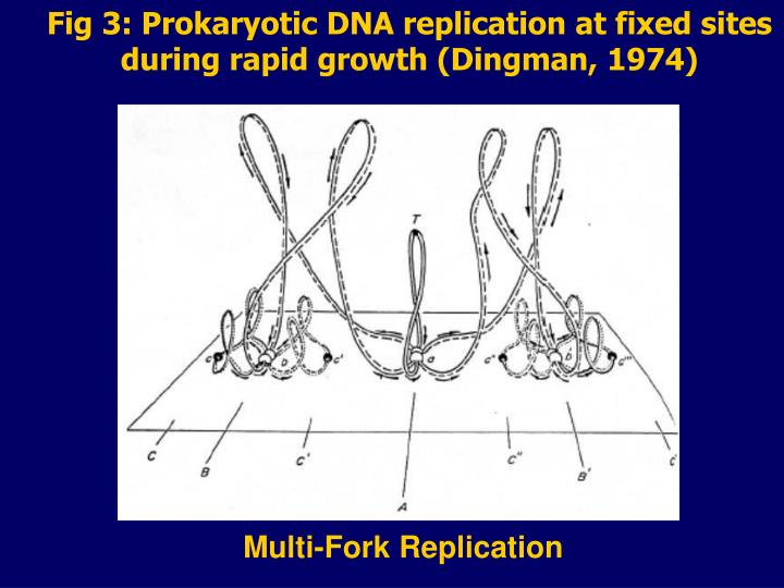 Fig 3: Prokaryotic DNA replication at fixed sites during rapid growth (Dingman, 1974)