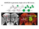 marcm to generate single cell or nb clones
