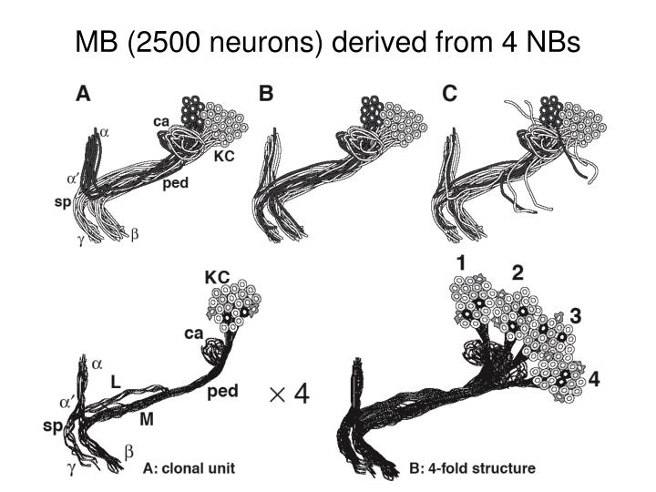 MB (2500 neurons) derived from 4 NBs