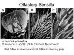 olfactory sensilla