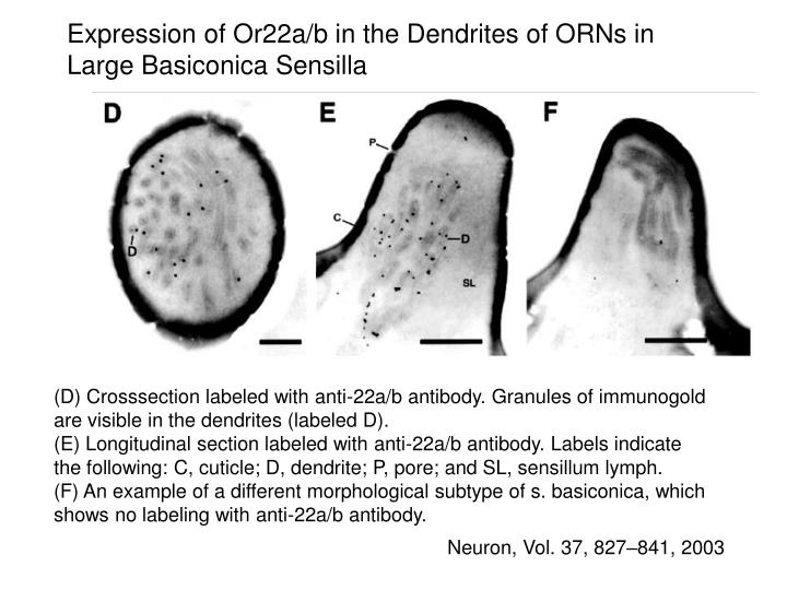 Expression of Or22a/b in the Dendrites of ORNs in Large Basiconica Sensilla