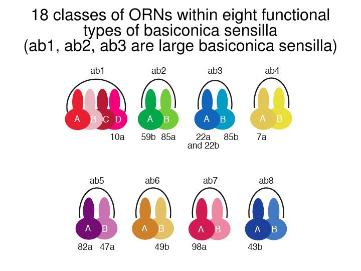 18 classes of ORNs within eight functional types of basiconica sensilla