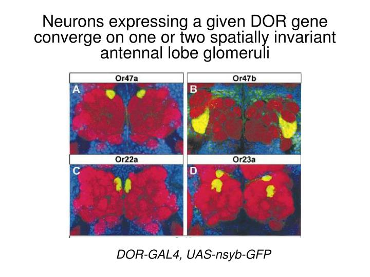 Neurons expressing a given DOR gene converge on one or two spatially invariant antennal lobe glomeruli