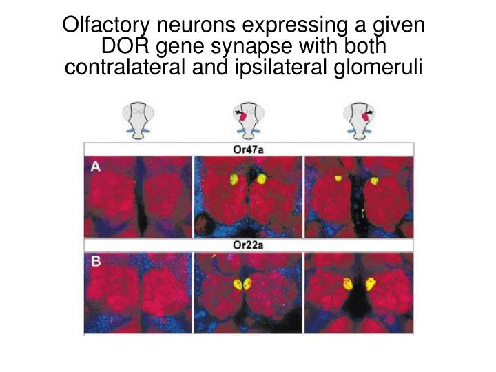 Olfactory neurons expressing a given DOR gene synapse with both contralateral and ipsilateral glomeruli