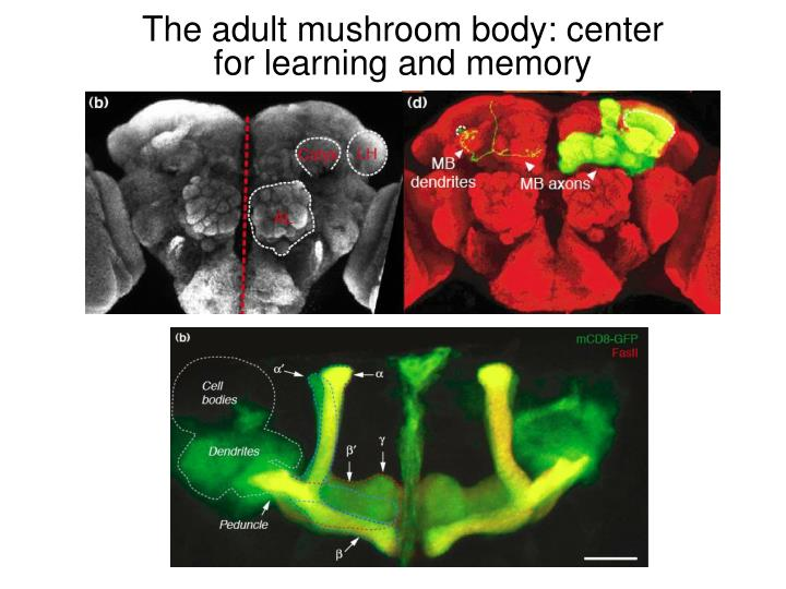 The adult mushroom body: center for learning and memory