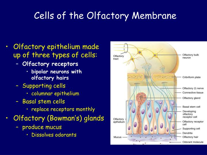 Cells of the Olfactory Membrane