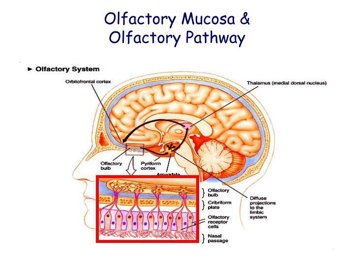 Olfactory Mucosa &
