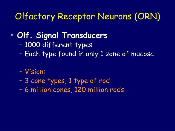 Olfactory Receptor Neurons (ORN)