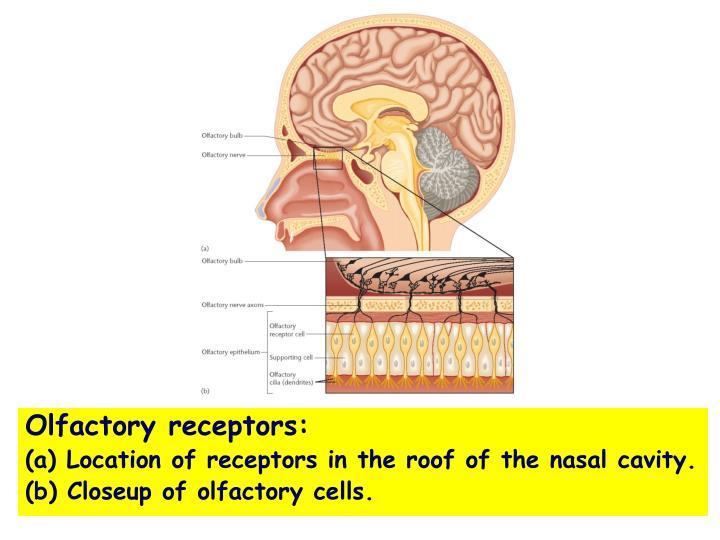 Olfactory receptors: