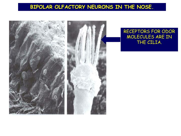 BIPOLAR OLFACTORY NEURONS IN THE NOSE.