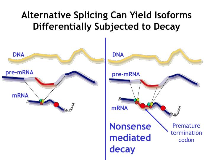 Alternative Splicing Can Yield Isoforms Differentially Subjected to Decay
