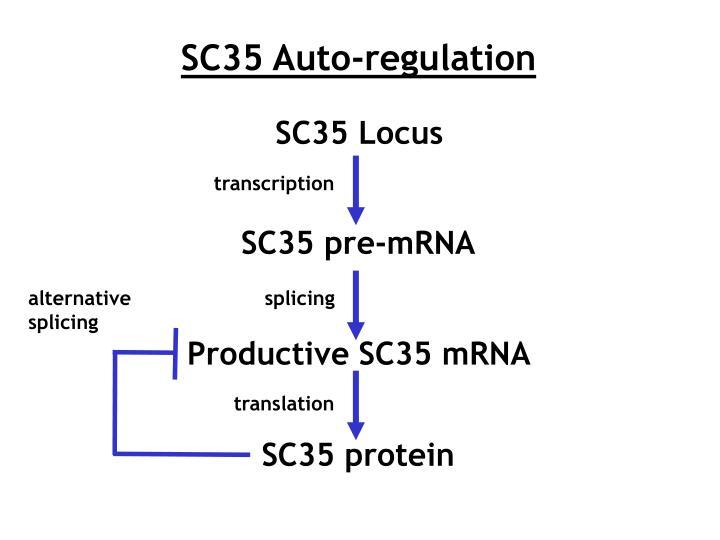 SC35 Auto-regulation