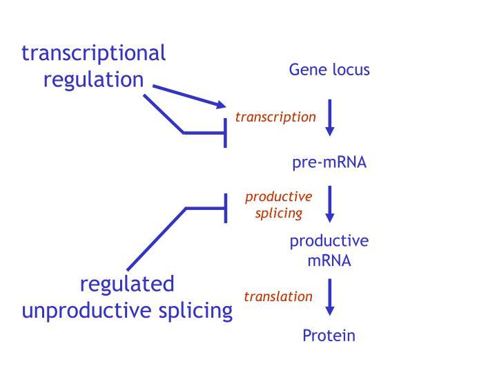 transcriptional