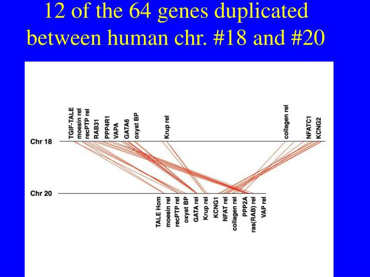 12 of the 64 genes duplicated between human chr. #18 and #20