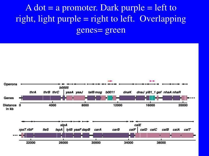 A dot = a promoter. Dark purple = left to right, light purple = right to left.  Overlapping genes= green