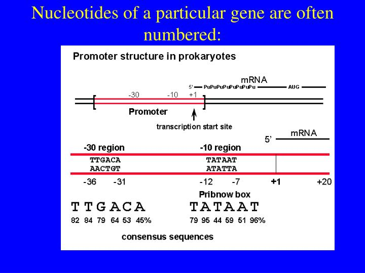 Nucleotides of a particular gene are often numbered: