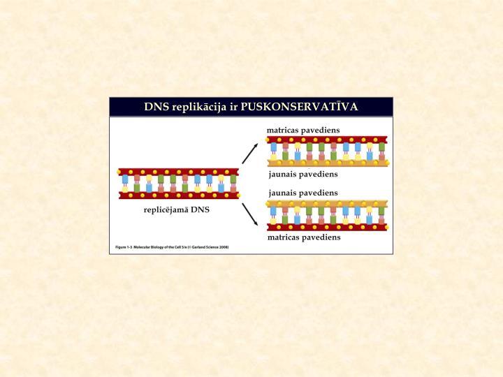 DNS replikācija ir PUSKONSERVATĪVA