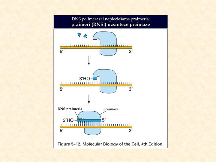 DNS polimerāzei nepieciešams praimeris;
