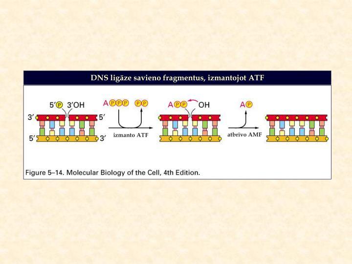 DNS ligāze savieno fragmentus, izmantojot ATF