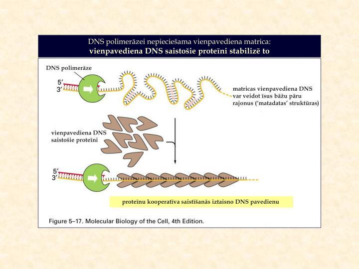 DNS polimerāzei nepieciešama vienpavediena matrica: