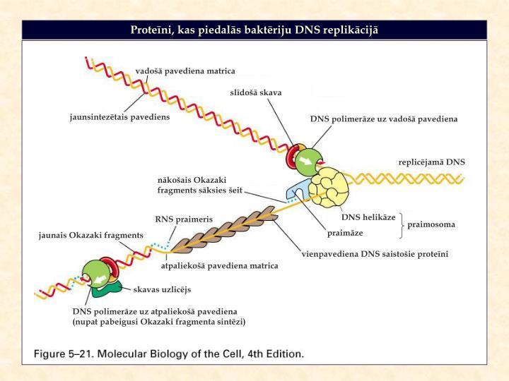 Proteīni, kas piedalās baktēriju DNS replikācijā