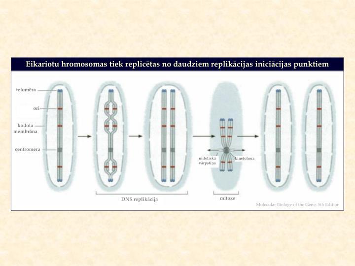 Eikariotu hromosomas tiek replicētas no daudziem replikācijas iniciācijas punktiem