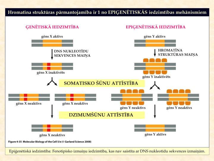 Hromatīna struktūras pārmantojamība ir 1 no EPIĢENĒTISKĀS iedzimtības mehānismiem