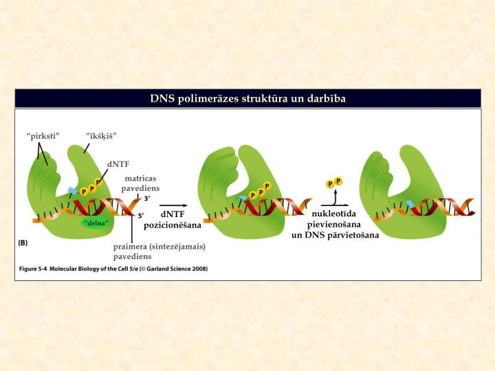 DNS polimerāzes struktūra un darbība