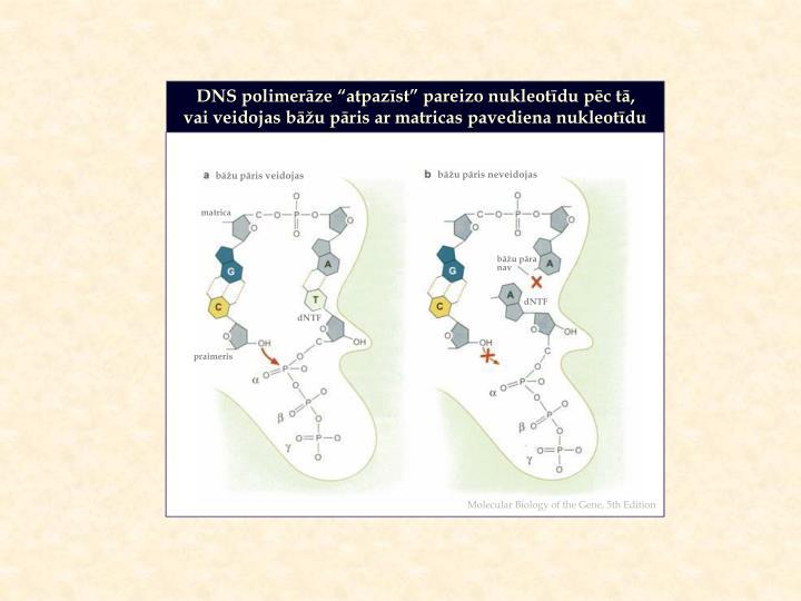 """DNS polimerāze """"atpazīst"""" pareizo nukleotīdu pēc tā,"""