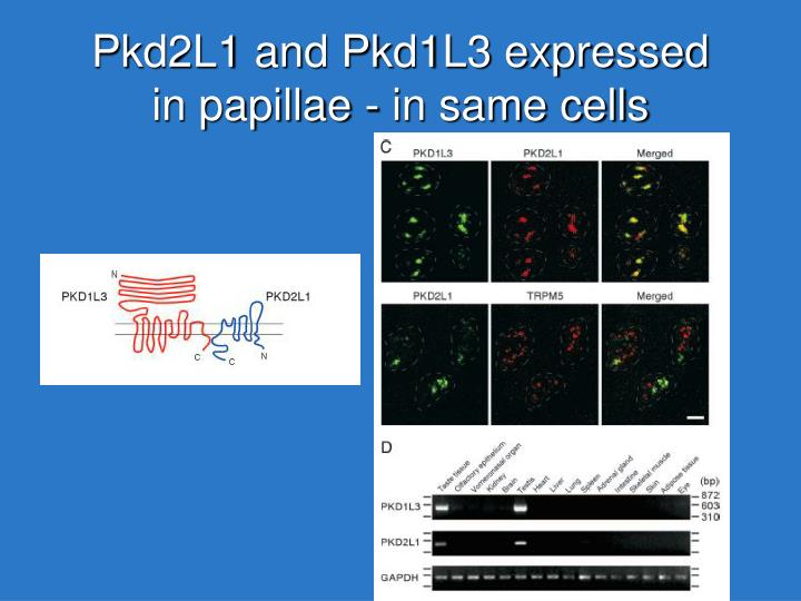 Pkd2L1 and Pkd1L3 expressed in papillae - in same cells