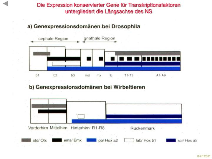 Die Expression konservierter Gene für Transkriptionsfaktoren
