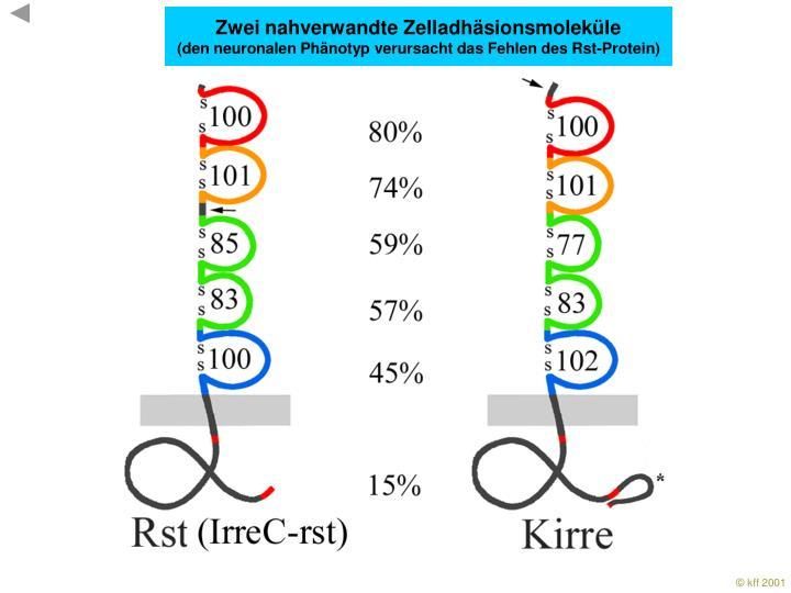 Zwei nahverwandte Zelladhäsionsmoleküle