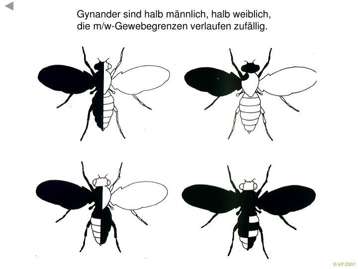 Gynander sind halb männlich, halb weiblich,