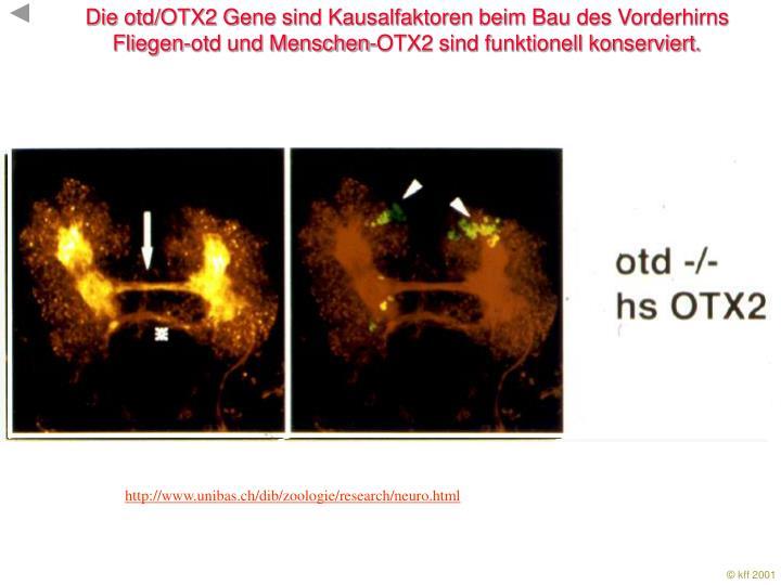 Die otd/OTX2 Gene sind Kausalfaktoren beim Bau des Vorderhirns