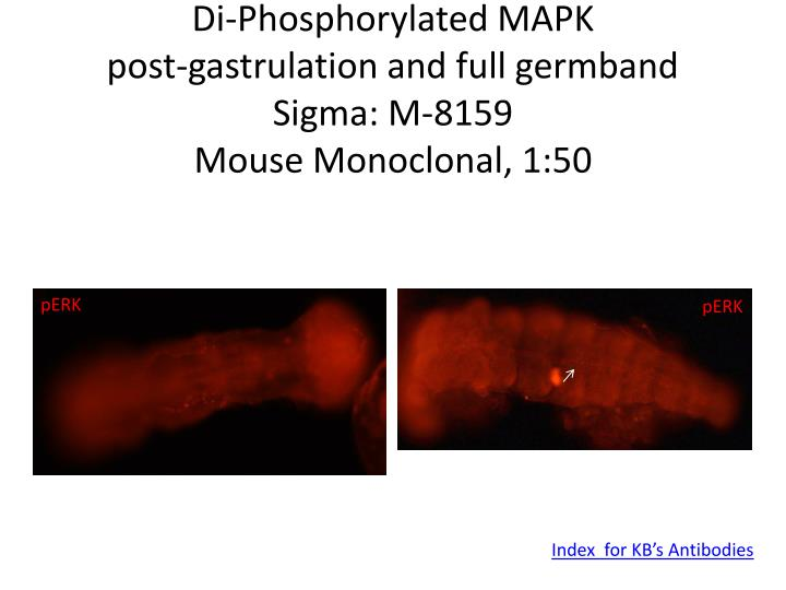 Di-Phosphorylated MAPK