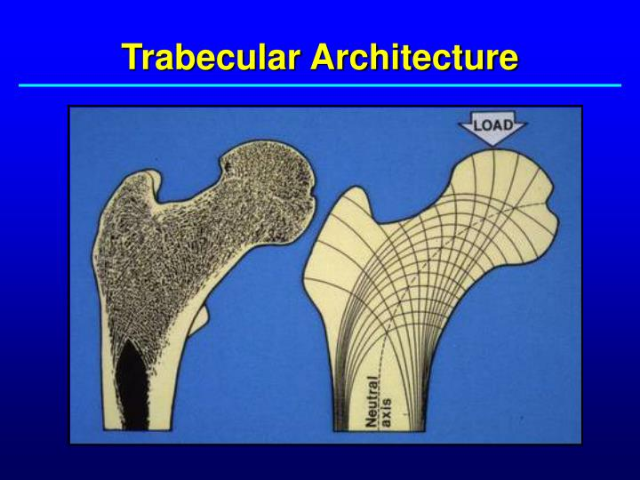 Trabecular Architecture