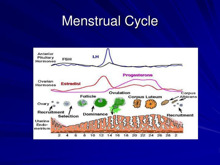 Menstrual Cycle