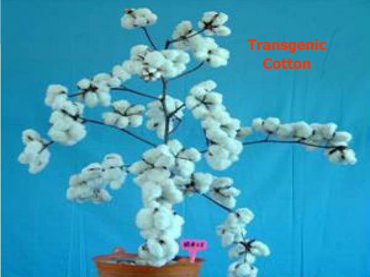 Transgenic  Cotton