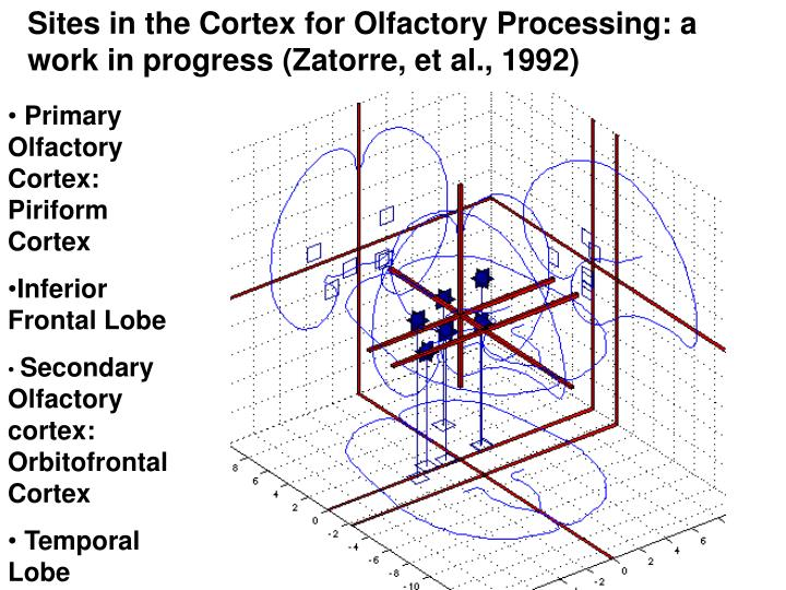 Sites in the Cortex for Olfactory Processing: a work in progress (Zatorre, et al., 1992)