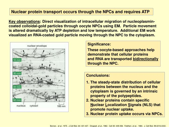 Nuclear protein transport occurs through the NPCs and requires ATP