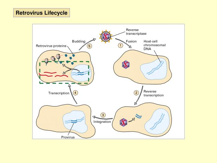Retrovirus Lifecycle