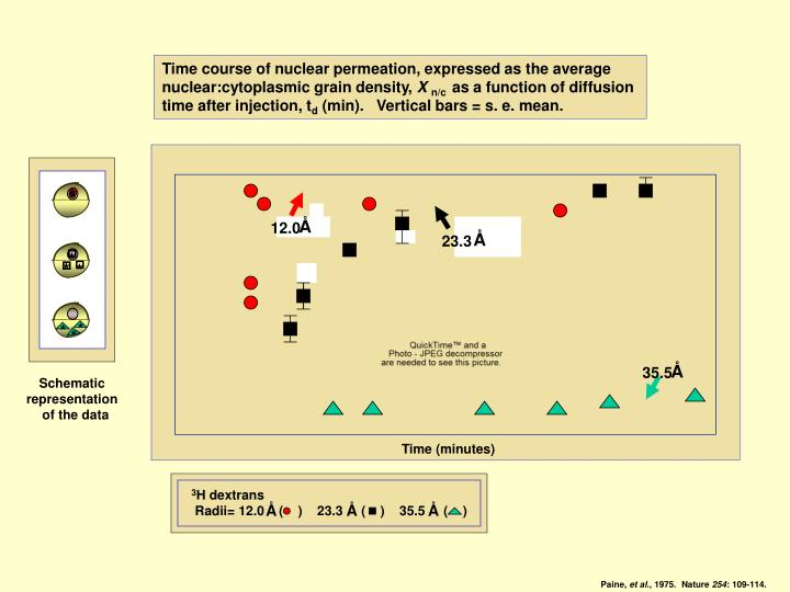 Time course of nuclear permeation, expressed as the average
