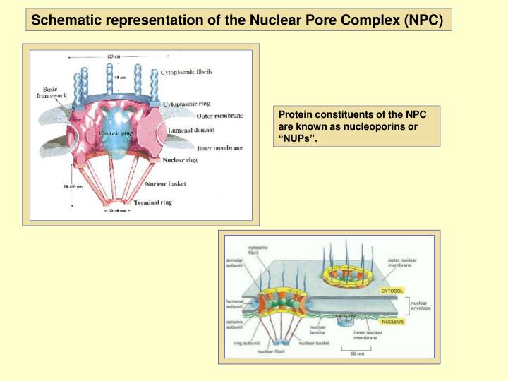 Schematic representation of the Nuclear Pore Complex (NPC)
