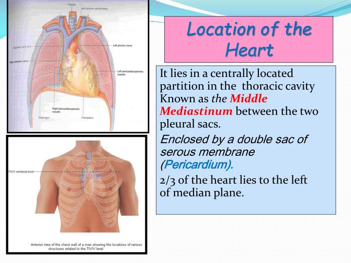 Location of the Heart