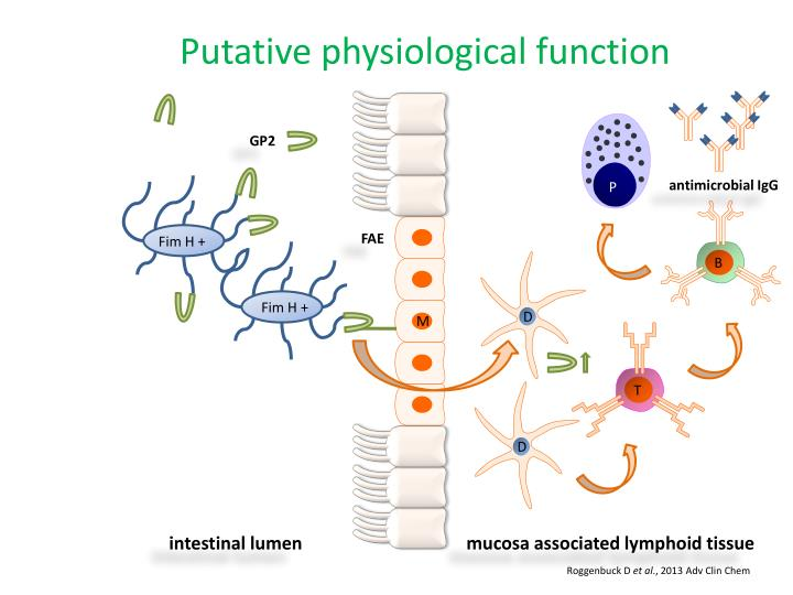 Putative physiological function