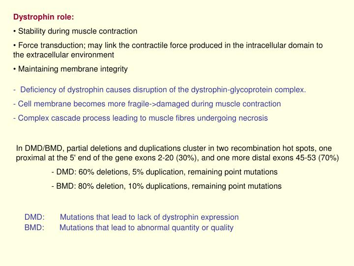 Dystrophin role: