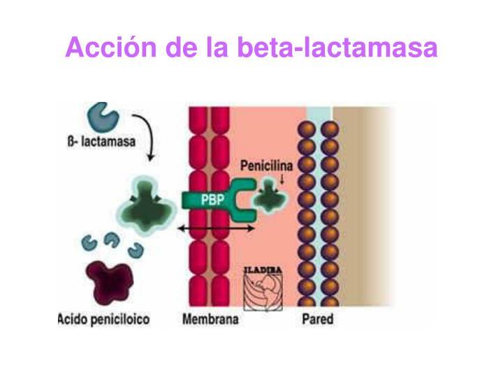 Acción de la beta-lactamasa