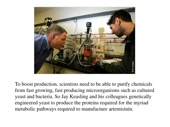 To boost production, scientists need to be able to purify chemicals from fast growing, fast producing microorganisms such as cultured yeast and bacteria. So Jay Keasling and his colleagues genetically engineered yeast to produce the proteins required for the myriad metabolic pathways required to manufacture artemisinin.