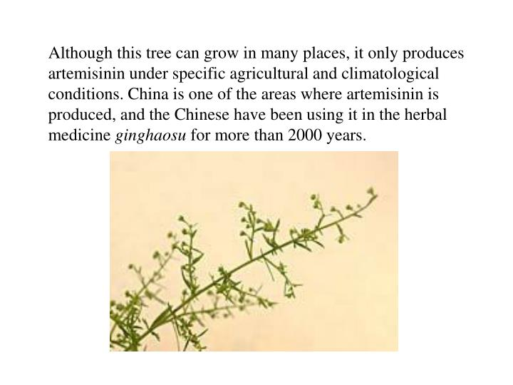 Although this tree can grow in many places, it only produces artemisinin under specific agricultural and climatological conditions. China is one of the areas where artemisinin is produced, and the Chinese have been using it in the herbal medicine
