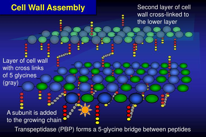 Second layer of cell wall cross-linked to the lower layer